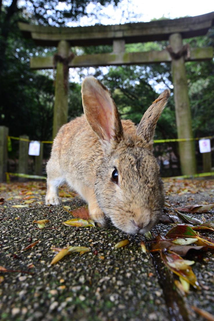 大久野岛 神社 兔子 うさぎ